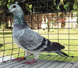 Grizzle racing pigeon