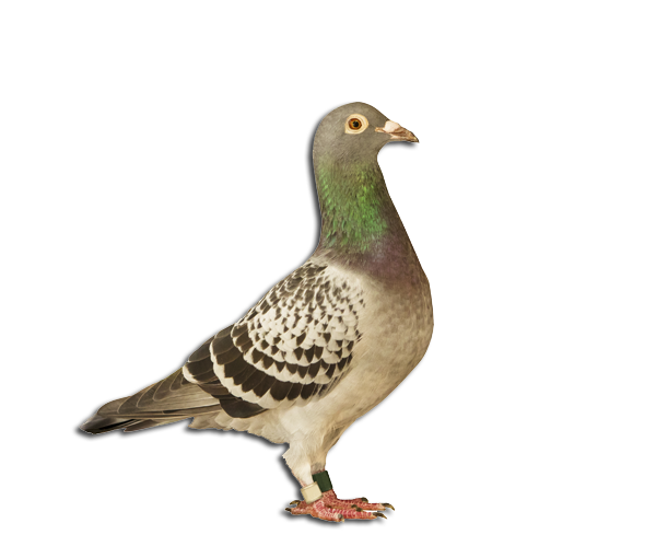 Top Breed Homing Pigeons